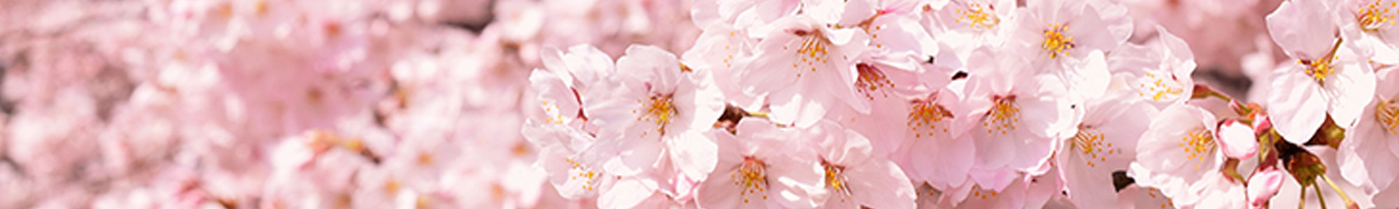 茨城県境町の桜