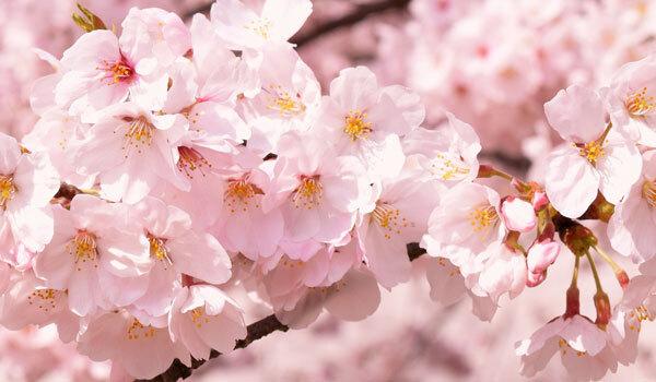 桜の名所・観光スポット