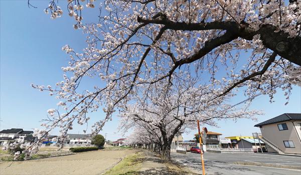 境の桜並木VRツアー