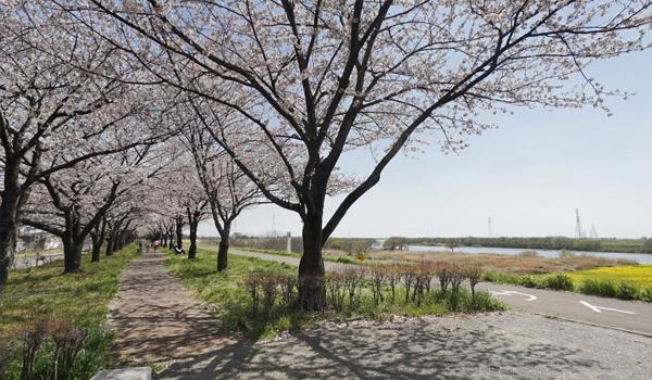 利根川(桜づつみ)VRツアー