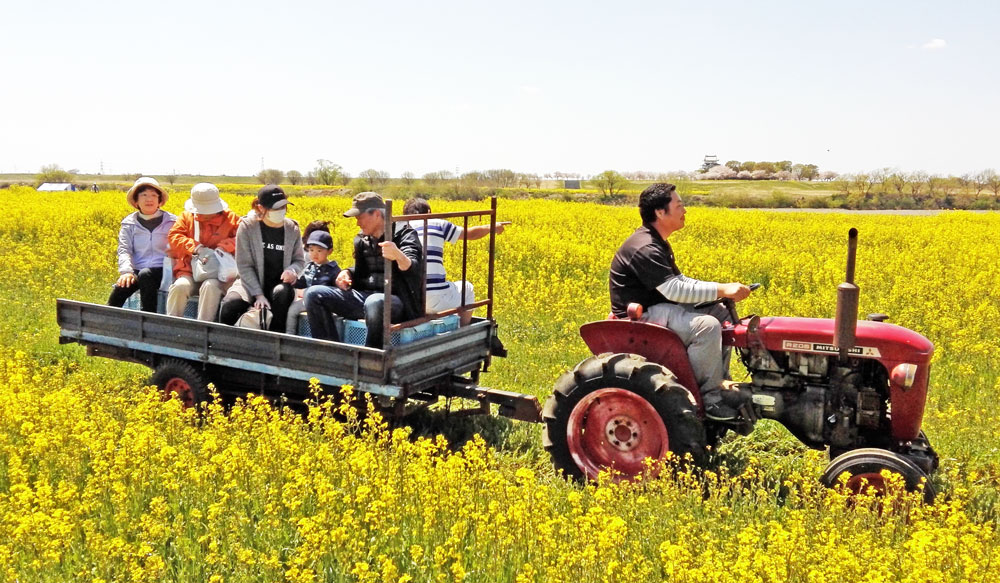 茨城県境町さかい河岸フェスティバル:菜の花畑を行くトラクター